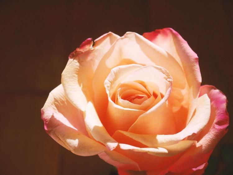 Rose in the sunlight